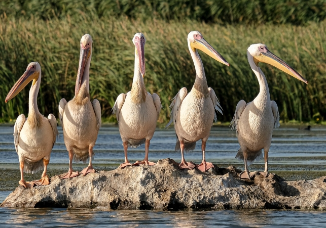 great-white-pelicans-5791396_1280